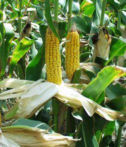 Corn-field1